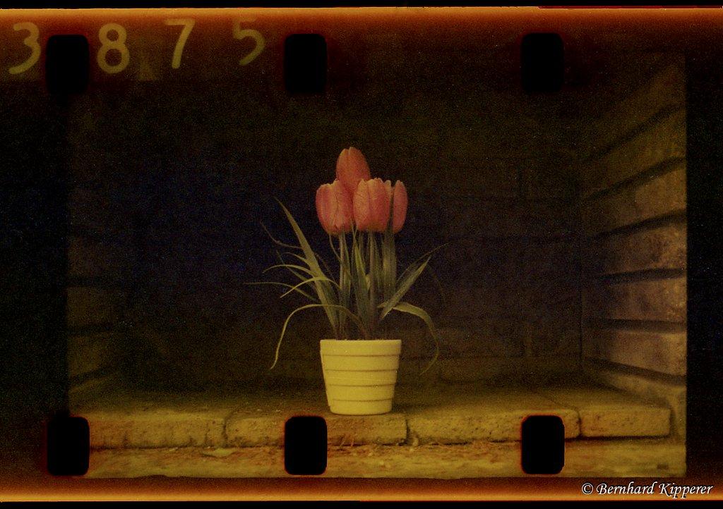 Tulip 3875